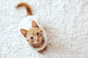 remove cat urine from carpet