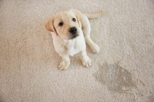 eliminate pet accidents on the floor with pet diapers