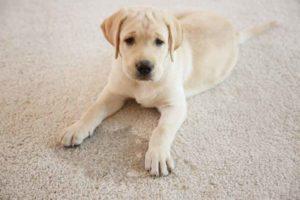 do on carpet with urine