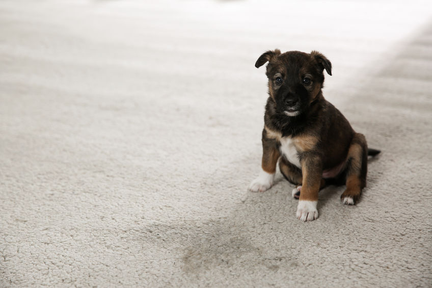 Some of the Latest Tips on Getting Pet Odor Out of Your Home, Planet Urine
