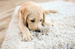 New Puppy Parents Guide to Cleaning Up Messes, Planet Urine