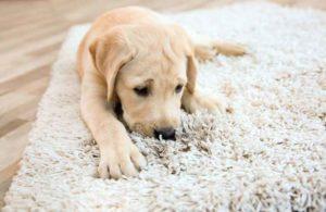 dog on white rug