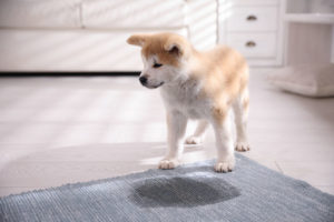 pet diapers help avoid inside pet messes
