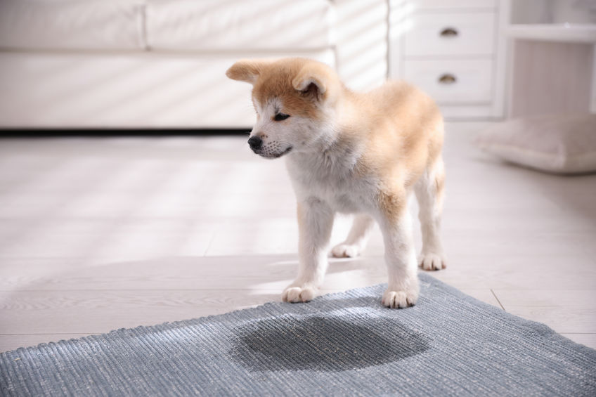 Your Dog Peeing on the Carpet May Indicate an Aging Pet, Planet Urine